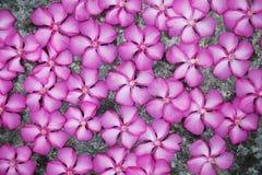 在地板上的洋红色花 免版税库存照片