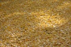 在地板上的黄色银杏树叶子 库存照片