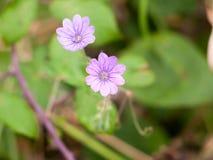 在地板关闭的两小生长紫色头状花序 免版税图库摄影