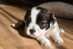 在地板特写镜头的微小的小狗 库存图片