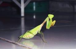 在地板的巨型亚洲螳螂 库存照片