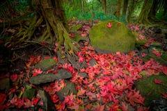 在地板石头的槭树 免版税图库摄影