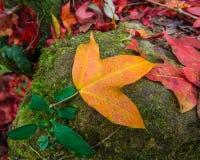 在地板石头的黄色槭树 免版税图库摄影