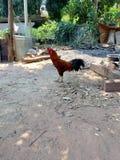 在地板背景的泰国鸡 图库摄影