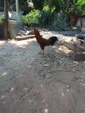 在地板背景的泰国鸡 库存图片