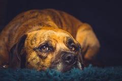 在地毯放置的逗人喜爱的狗 免版税库存图片