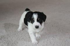 在地毯的小狗 库存图片