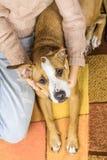 在地毯的狗与人 库存照片