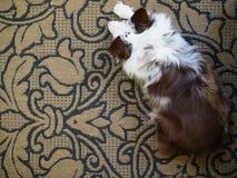在地毯的狗从上面 免版税图库摄影