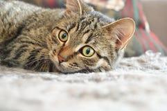 在地毯的谨慎猫 库存图片