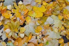 在地面上下落的五颜六色的秋天叶子背景  留下槭树黄色 库存照片