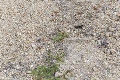 在地面上伪装的小灰色蚂蚱 免版税库存图片