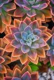 在地面上安排的美丽的echeveria多汁植物 库存照片