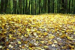 在地面上撒布的黄色叶子在森林 免版税库存照片