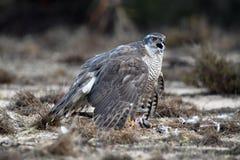 在地面上栖息的苍鹰 免版税库存照片
