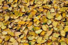 在地面上涂的银杏树叶子 库存图片