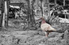 在地面上的一只孤独的鸽子 免版税图库摄影