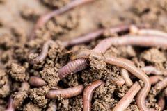 在地面上的一只蠕虫 宏指令 免版税图库摄影