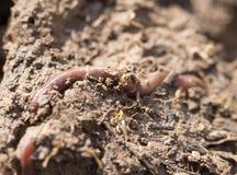 在地面上的一只蠕虫 宏指令 库存照片