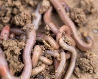 在地面上的一只蠕虫 宏指令 免版税库存照片