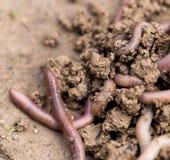 在地面上的一只蠕虫 宏指令 免版税库存图片