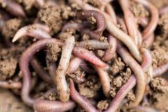 在地面上的一只蠕虫 宏指令 图库摄影