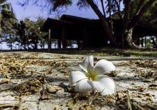 在地面上的一朵白色羽毛花与在房子附近的阳光天 免版税库存照片