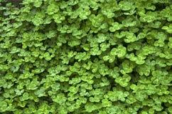 在地面上的三叶草 免版税库存照片