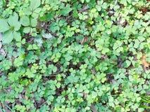 在地面上的三叶草 库存图片