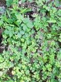 在地面上的三叶草 免版税库存图片