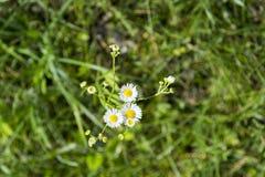 在地面上的三棵春黄菊在草甸 库存图片