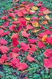 在地面上的下落的孔雀花,生动的颜色瓣 免版税库存照片