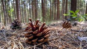 在地面上的下落的杉木锥体 库存图片