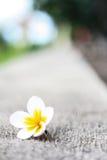 在地面上的下落的赤素馨花叶子 图库摄影