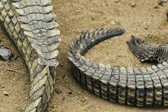 在地面上的两条鳄鱼尾巴 图库摄影