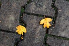 在地面上的两片槭树叶子 免版税库存照片