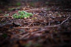 在地面上的云杉的锥体 免版税库存照片