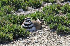 在地面上的双胸斑沙鸟嵌套 免版税图库摄影