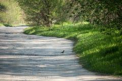 在地面上的啄木鸟 图库摄影