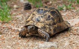 在地面上的大草龟 免版税库存图片