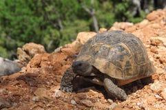 在地面上的大草龟 库存照片