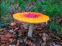 在地面上的大蘑菇蝇 自然毒物 免版税库存照片