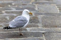 在地面上的孤独的海鸥 库存照片