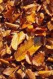 在地面上的实际秋叶 免版税库存图片