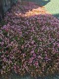 在地面上的小桃红色花 库存照片