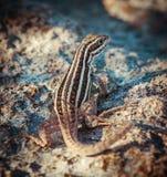 在地面上的小爬行动物选址 免版税库存照片