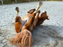在地面上的小马辗压 图库摄影