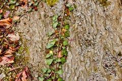 在地面上的常春藤 免版税库存照片