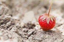 在地面上的成熟有机红色草莓 美好的庭院莓果宏指令视图 浅景深,软有选择性 库存照片