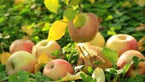 在地面上的成熟苹果 影视素材